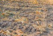 picture of corn stalk  - image of End of the summer dried corn after harvesting - JPG