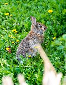 picture of hare  - Wild rabbit in garden - JPG