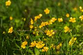stock photo of buttercup  - Spring floral natural background with yellow flowers buttercups growing in the meadow on a sunny day  - JPG