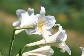 picture of easter lily  - Easter Lily - JPG