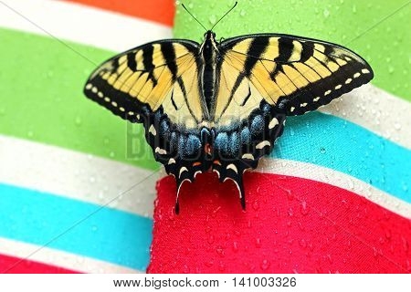 Old World Swallowtail butterfly on a colourful background with waterdrops and copy space selective focus