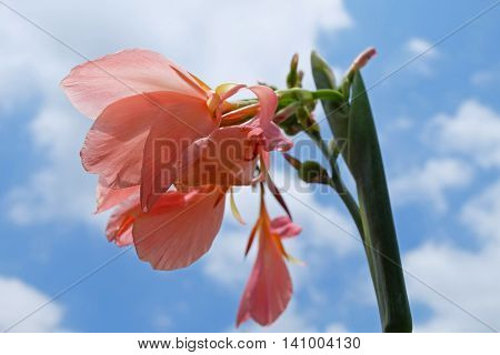 Beautiful rose pink color canna lilly flower on sunshine with blue sky background, soft tone.