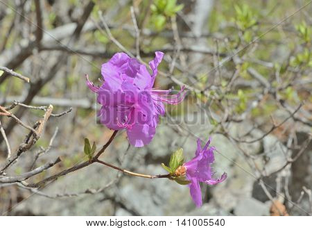 A close up of the flowers of rhododendron (Rhododendron mucronulatum).