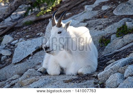 Wild White Mountain Goat. Enchantment Lakes near Leavenworth and Seattle WA.