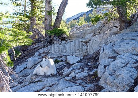 White Mountain Goat in wilderness. Enchantment Lakes near Leavenworth and Seattle WA.