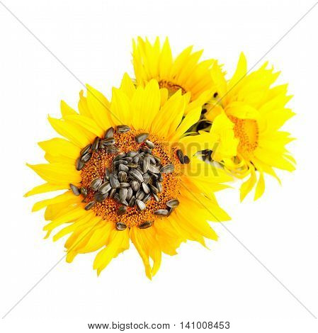 Yellow Sunflowers And Sunflower Seeds On A White Background. Top View