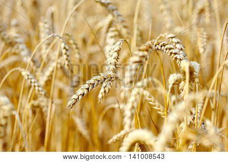 Ripe ears wheat. Close up. Sunny day