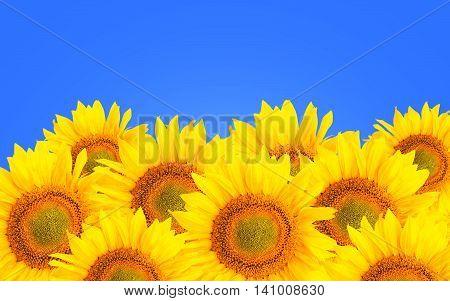 Sunflower Background. Sunflower Flowers Over Blue Background.