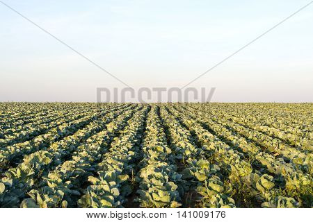 cabbage growing on the field plantation  industry