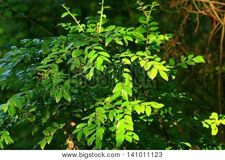 a picture of an exterior Pacific Northwest young Oregon ash tree