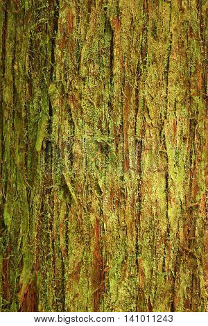 a picture of an exterior Pacific Northwest forest Red cedar tree