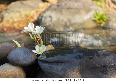 Blank Space Area On Stone Surface With Flowers Plumeria Or Frangiani At Crystalline Stream