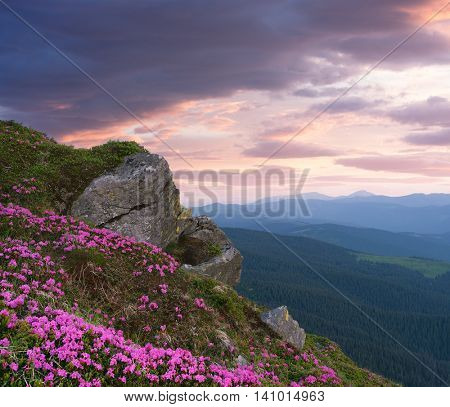 Mountain flowers in the glade. Blooming pink rhododendron in the wild. Sky with beautiful clouds at sunset. Carpathians, Ukraine, Europe. Art processing photos