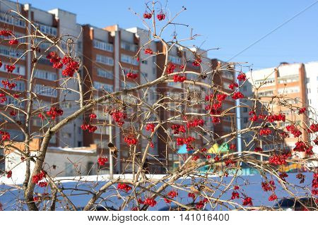 Viburnum berries in winter on the background of houses