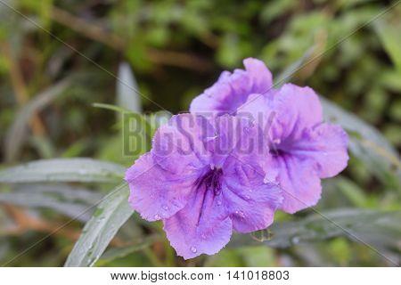 Ruellia flower Purple bloom and Morning dew . (Ruellia tuberosa Linn. Waterkanon Watrakanu Feverroot Popping pod)
