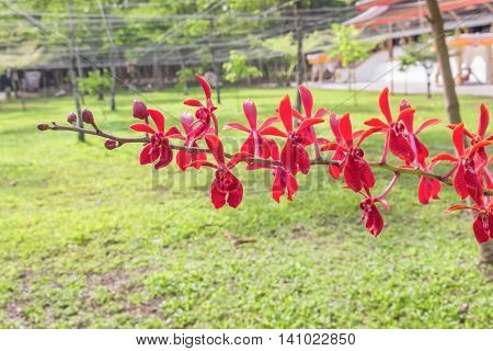 Red orchids bright.  beautiful natural garden: Kalsom coccinea philipinensis