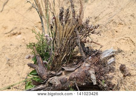 aroma bouquet from dry grass lay on stump on sandy summer beach