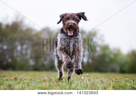German Wirehaired Dog Running Outdoors In Nature