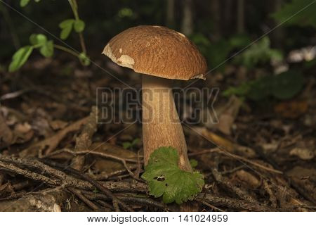 Boletus edulis in the forest. Edible mushroom in summer. Fungus on the grass. Closeup view