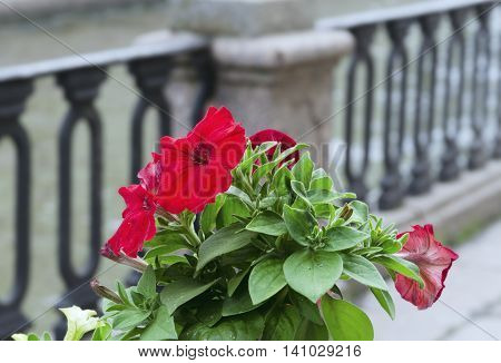 Red petunia in pot and blur ancient metal fence