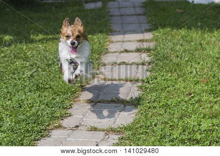 Papillon dog quickly runs on a sunny day