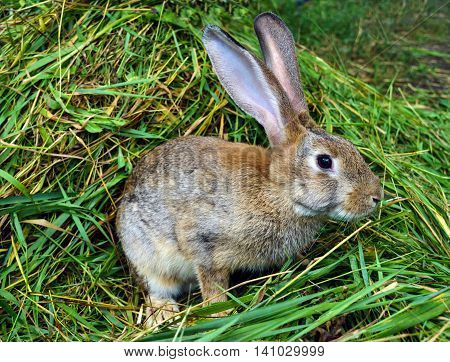 Brown rabbit sitting in a pile of fresh green grass.