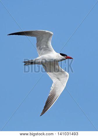 Caspian tern (Hydroprogne caspia) in flight with blue skies in the background