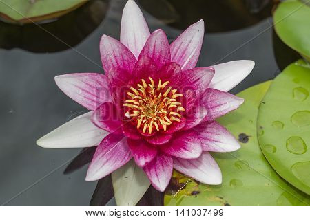 pond with pink water lilies  in a pond