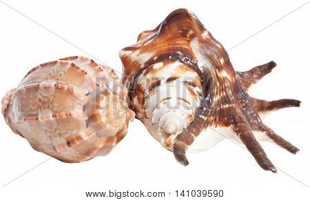 Two tropical sea shells isolated on white background