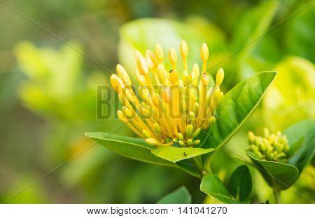 yellow Flower Spike was capture in Thailand.
