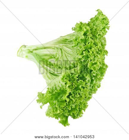 Studio shot of ripe lettuce with green leaves isolated on white background. Closeup of fresh organic vegetable food, diet concept