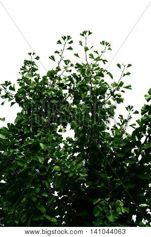 Branches with green leaves of Ginkgo Biloba on white sky background