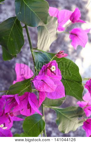 Magenta bougainvillea flowers on branch in nature