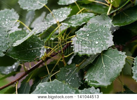 Aspen leaves on tree with drops of water in rainy day.