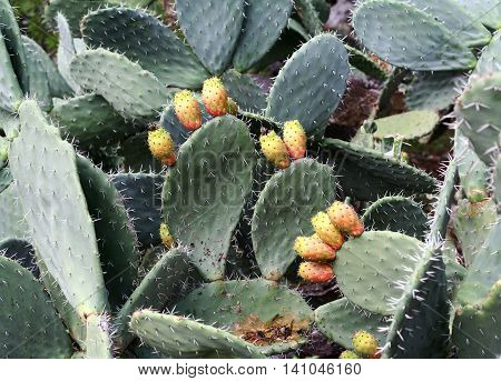 Prickly pear cactus (Opuntia) with sweet orange fruits.