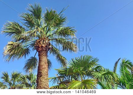 Tall Alone Coconut Palm Tree On The Clear Blue Sky Background In Summertime