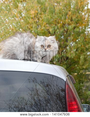 Cat of Persian breed, sits on the car