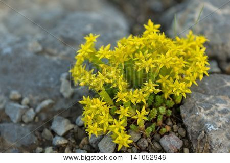 Sedum acre or goldmoss stonecrop. Beautiful and rich nature of the Crimea.