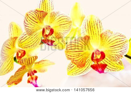 Nice view of yellow orchids, phalaenopsis (close up)