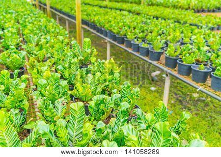 Green Asplenium in garden