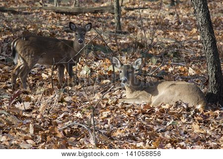 deer lying in the sun in the autumn forest. fawn
