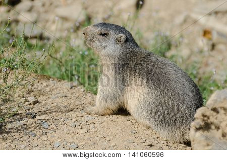 Alpine Marmot on the lookout near its burrow