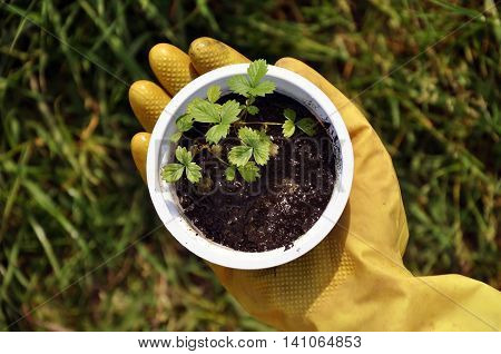 Hand in yellow rubber gloves holding a container with soil and seedlings of strawberries. Green grass in the background.