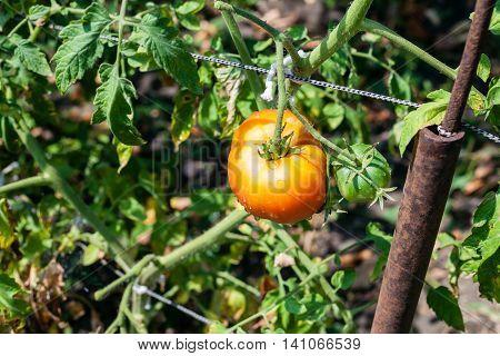 One Ripe Tomato On Bush In Garden In Sunny Day