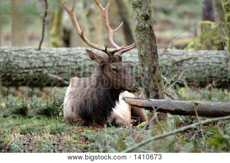 Roosevelt Elk Resting