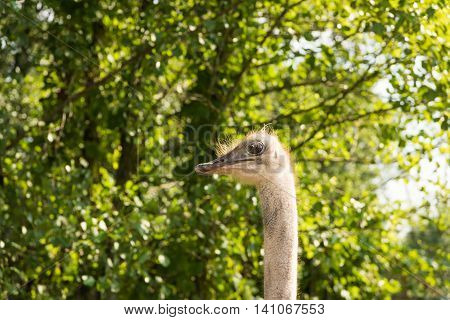 African Ostrich Walks In The Paddock Summer Day