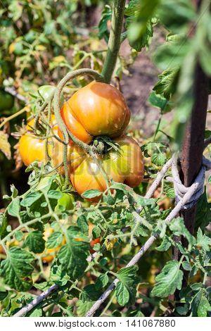 Big Tomato On Bush In Garden In Sunny Summer Day