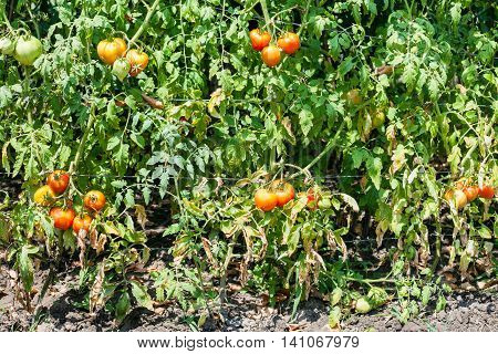 Tomato Bushes With Fruits In Vegetable Garden
