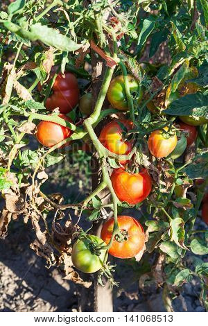 Bush Tomatoes On Pole In Garden Illiminated By Sun