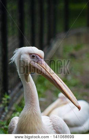 Pelican makes a leisurely stroll through its territory.